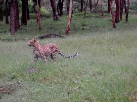 bandipur-tiger.jpg