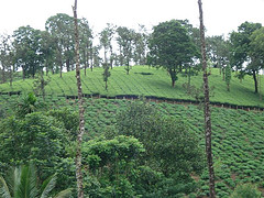 tea-estate-vythiri-resort.jpg